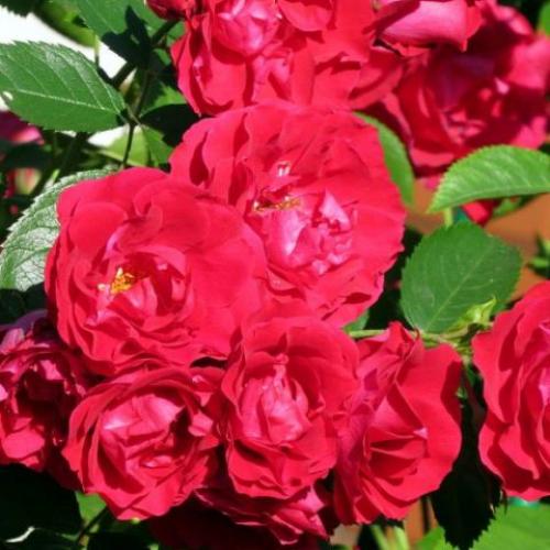 Роза Flammentanz