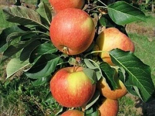 Яблоня колонновидная Есения