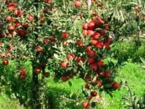 Яблоня колонновидная Кармелита