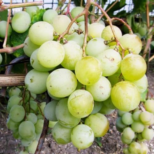 Виноград Кеша
