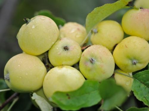 Яблоня Китайка кремовая