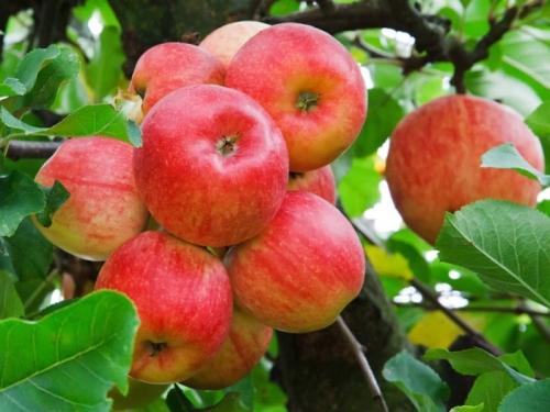 Яблоня Красивое