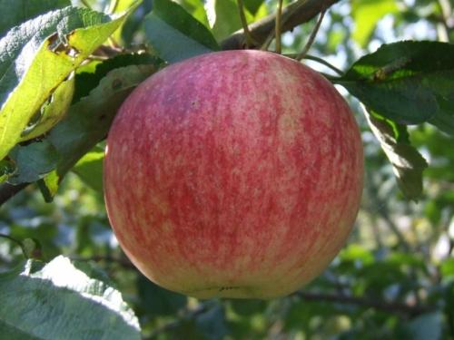 Яблоня Красный янтарь