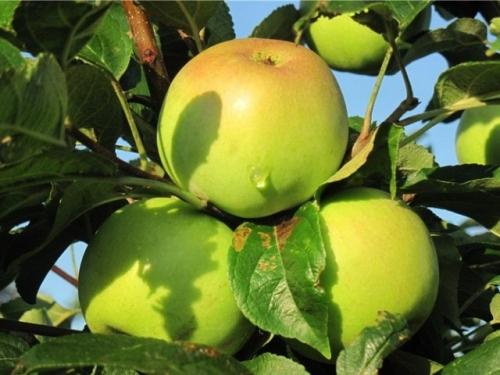 Яблоня Медуница зимняя