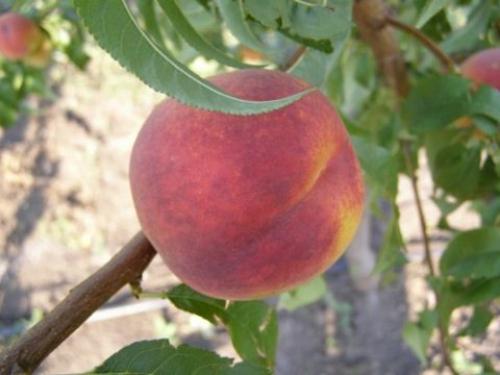 Персик Освежающий