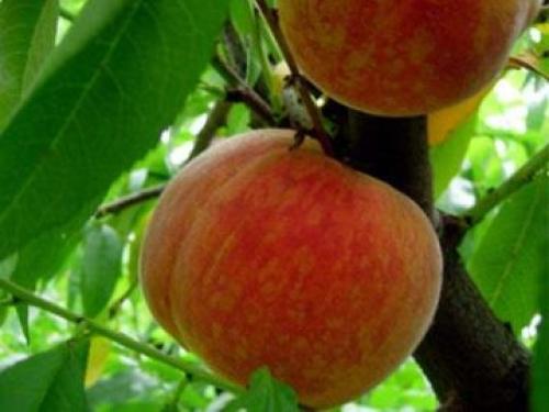 Персик Зимостойкий