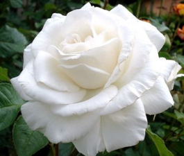 Роза Annapurna