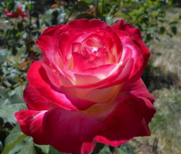 Роза Double Delight