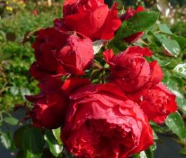 Роза Florentina
