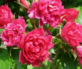 Роза Grootendorst
