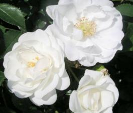 Роза Innocencia