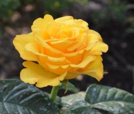 Роза Kerio