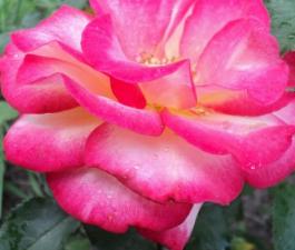 Роза Leo Ferre