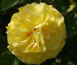 Роза Lichtkonigin Lucia