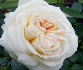 Роза Mon Jardin et Ma Maison