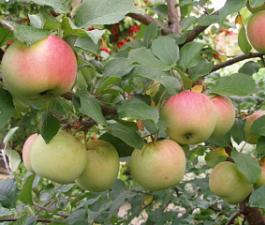 Яблоня Благая весть