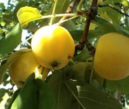 Яблоня Китайка золотая ранняя