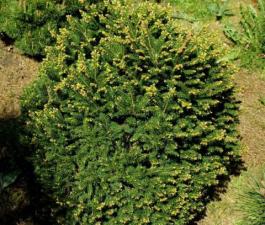 Ель обыкновенная Pygmaea (Пигмея)