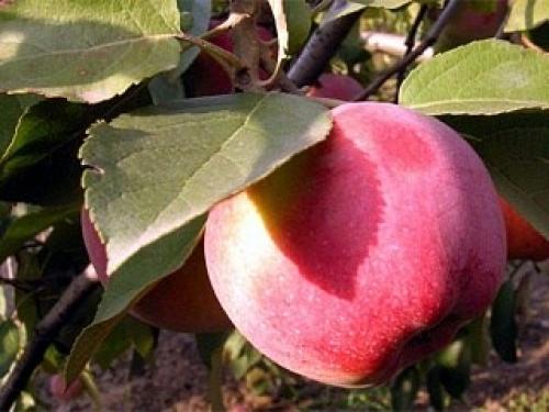 Яблоня колонновидная Виктория