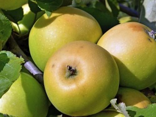 Яблоня Жемчужное