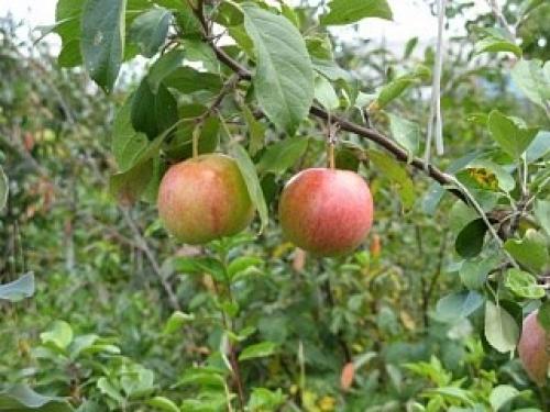 Яблоня Зимнее полосатое